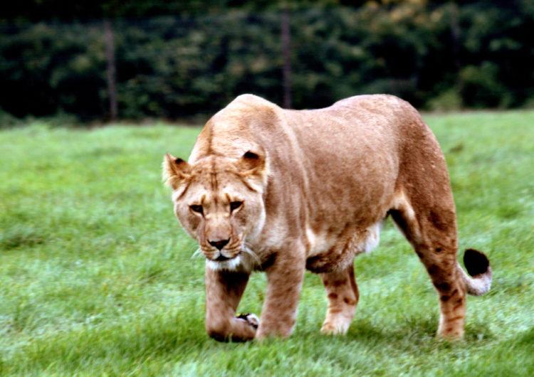 DreamPress: A Lion in Winter thumbnail